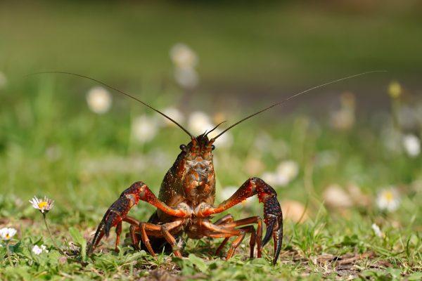 Une espèce envahissante : l'Écrevisse rouge de Louisiane
